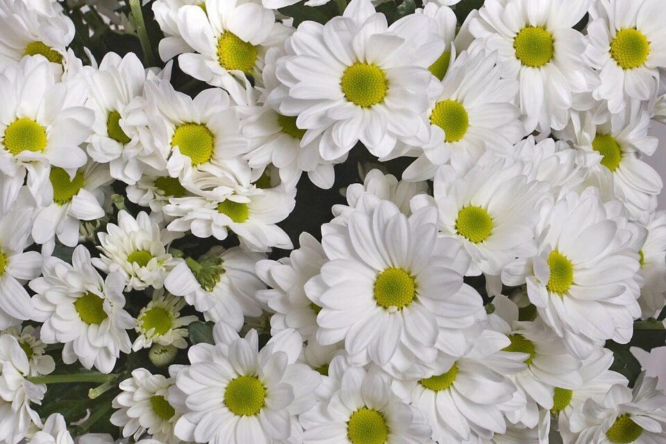 В Якутии сотрудники Россельхознадзора обнаружили в хризантемах западный цветочный трипс